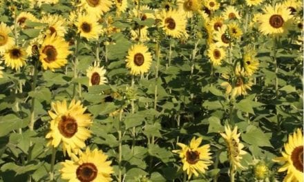 Sunflower field planted for public enjoyment at Heritage Park
